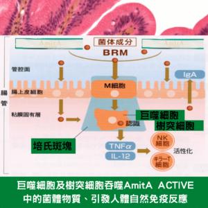 二肽內源性物質引發BRM生物反應