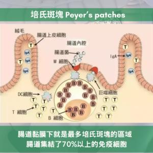二肽內源性物質激活培氏班塊 Peyer's patches